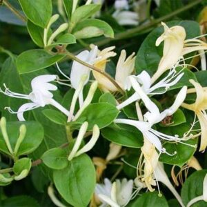 Plante si ierburi ornamentale