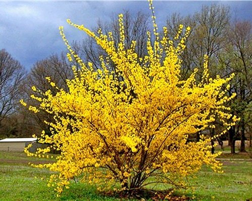 forsythia_planta_decorativa_gradina_2