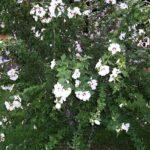 hibiscus_zamosita_arbust_gradina_3