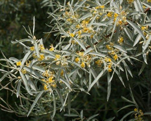 maslin_rusesc_maslin_salbatic_amenajare_gradini_Elaeagnus__angustifolia_3