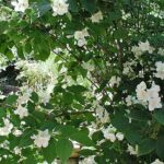 philadelphus_iasomie_arbust_peren_iasomie_parfum_3