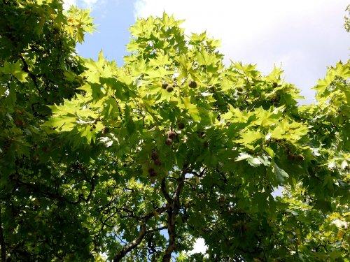 platan_oriental_arbore_decorativ_plantare_aliniament_Platanus_orientalis_3