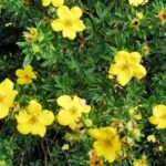potentilla_arbust_gradina_planta_ornamentala_3