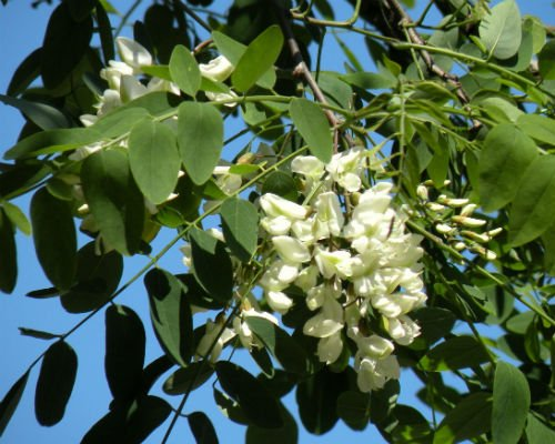 salcam_arbore_decorativ_florifer_planta_melifera_amenajare_gradini_Robinia_speudoacacia_3