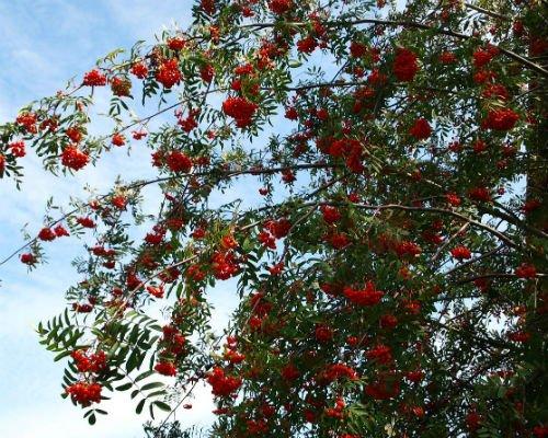 scorus_pasaresc_arbore_foios_decorativ_fructe_amenajari_spatii_verzi_gradini_Sorbus_aucuparia_3