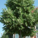 tei_argintiu_arbore_decorativ_planta_melifera_tilia_tomentosa_amenajare_gradina_3